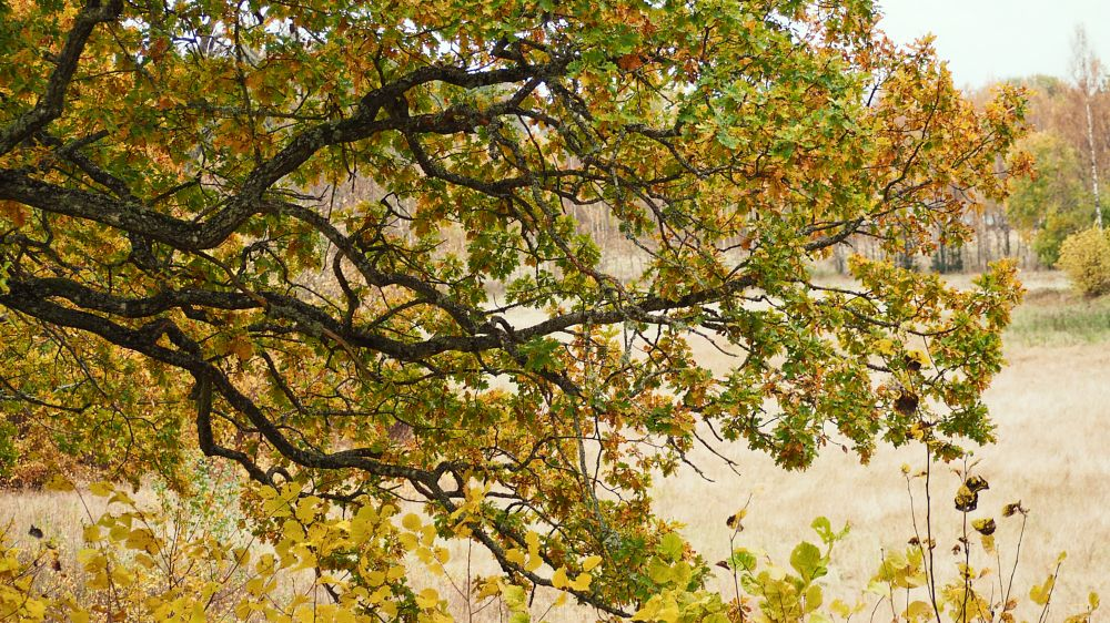 Photo in Random #oak #autumn #bogart #olympus