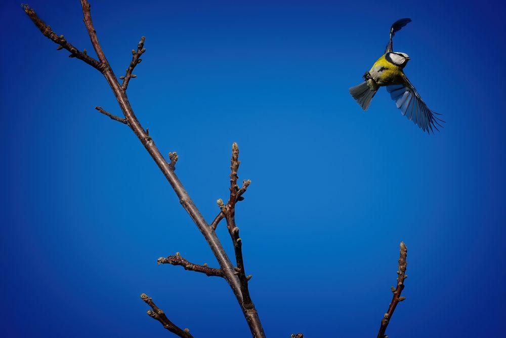 Photo in Animal #blue tit #garden bird