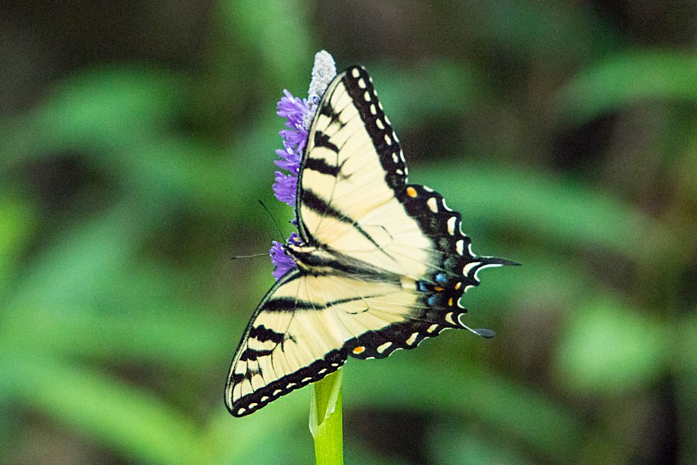 Photo in Nature #butterfly #swallowtail #eastern tiger
