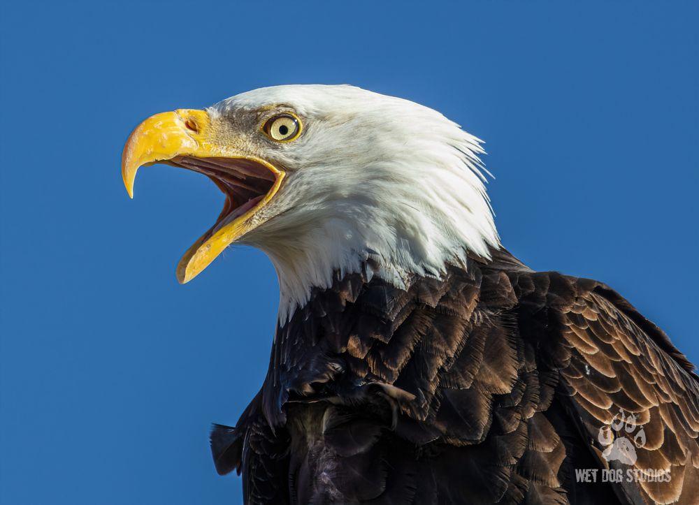 Photo in Animal #bald eagle #bird #nature #raptor #majestic #detail #closeup #feathers #beak #wet dog studios