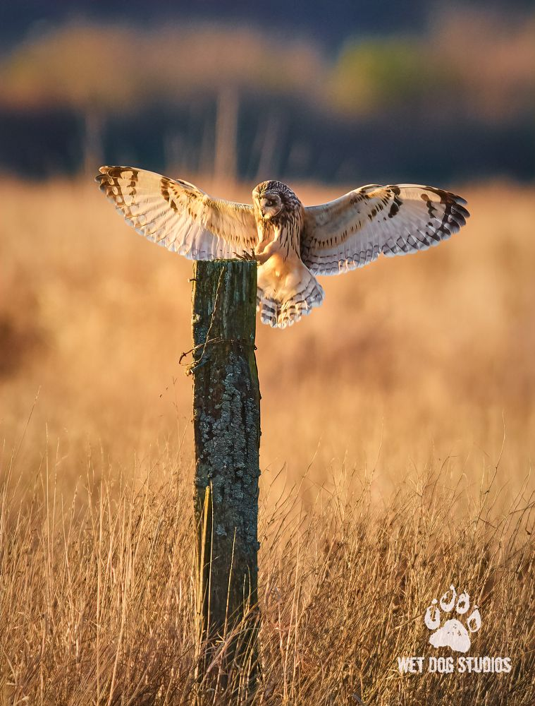 Photo in Animal #short eared owl #bird #flying #landing #sunset #animal #nature #field #post #wet dog studios