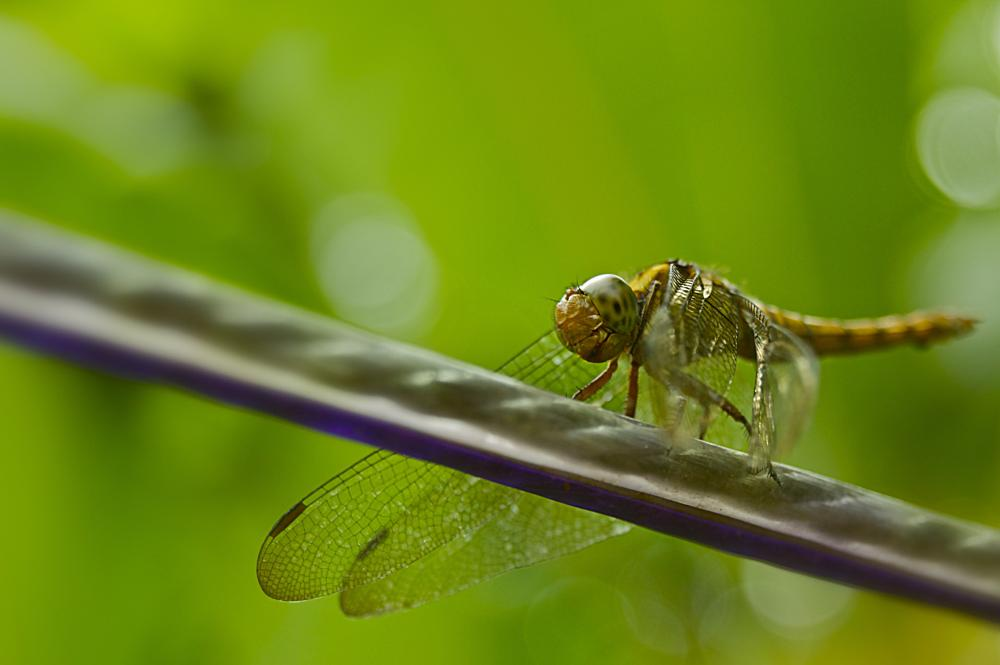 Photo in Macro #dragonfly #macro #animal #nature #cable #photography #youpic