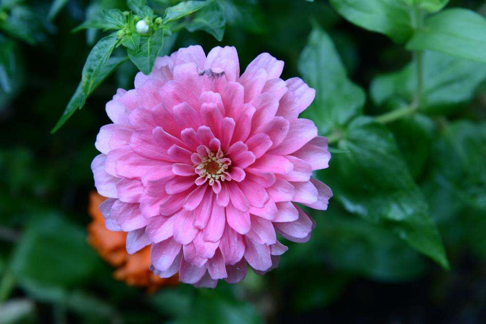 Photo in Nature #ping flower zinnia in bloom be