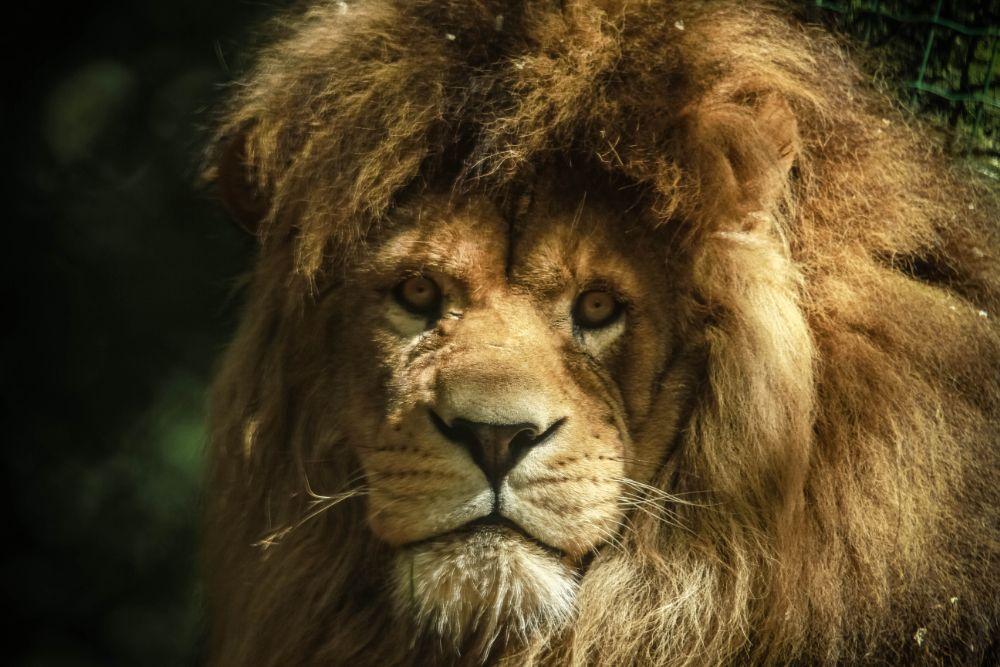 Photo in Animal #lion #look #nature #animal #savage