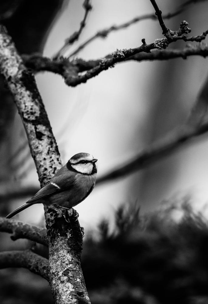 Photo in Animal #blue #tit #bird #nature #black and white