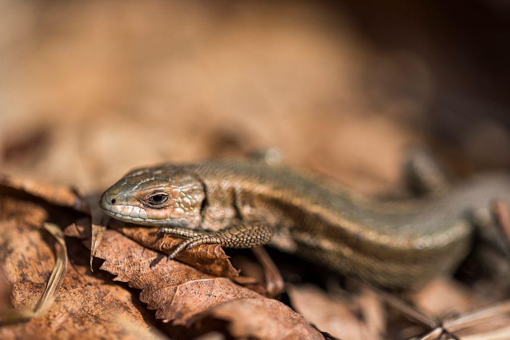 Photo in Macro #lizard #nature #spring #sunbath