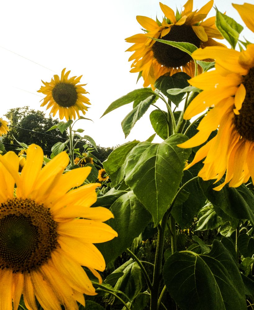 Photo in Nature #sunflowers #flowers #sunny #nature #pretty