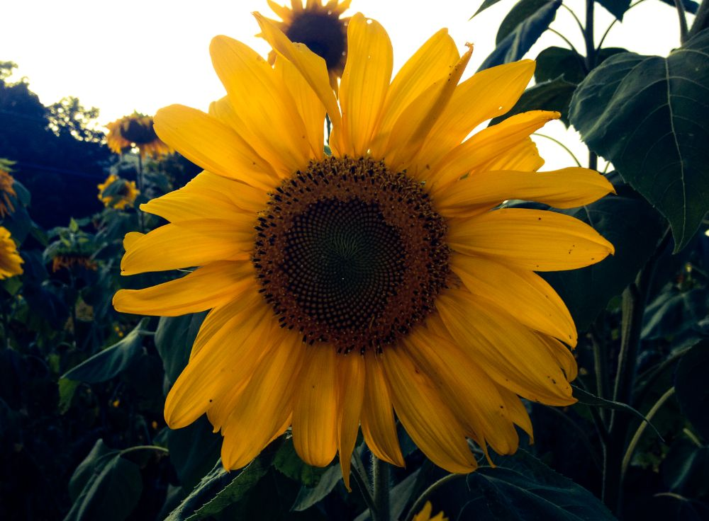 Photo in Nature #sunflower #pretty #nature #flowers