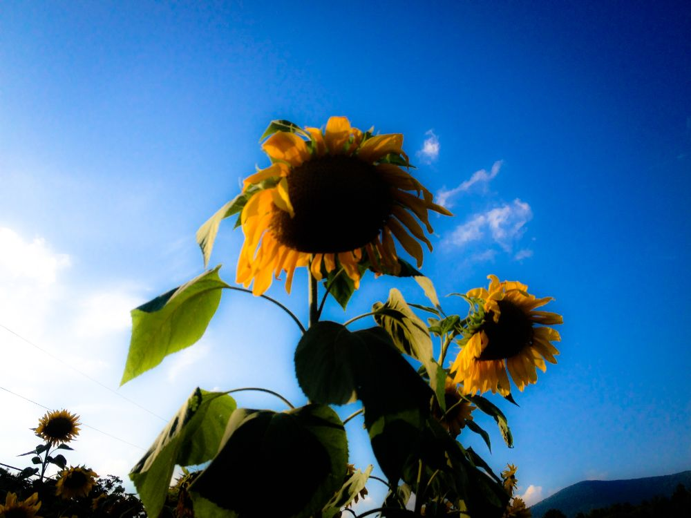 Photo in Nature #sun #flowers #sunflowers #nature