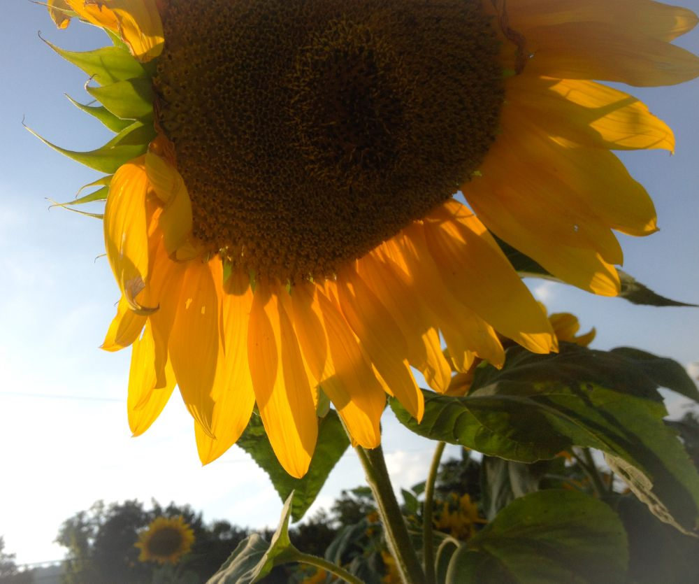 Photo in Nature #sunflower #huge #flower #sun #nature