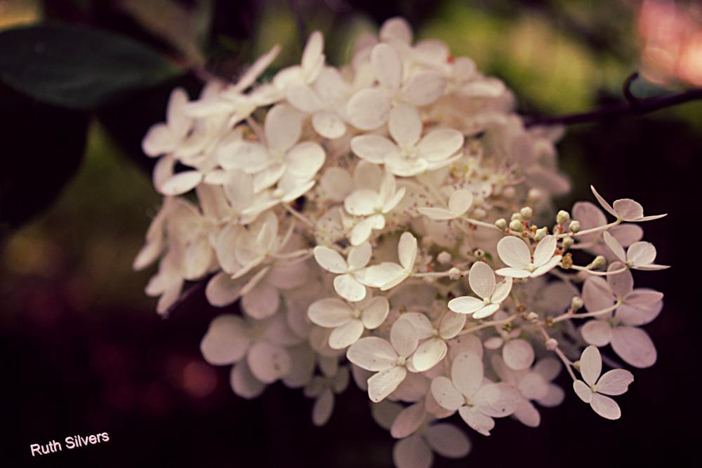 Photo in Nature #hydrangea #flowers #snow balls #pretty #nature