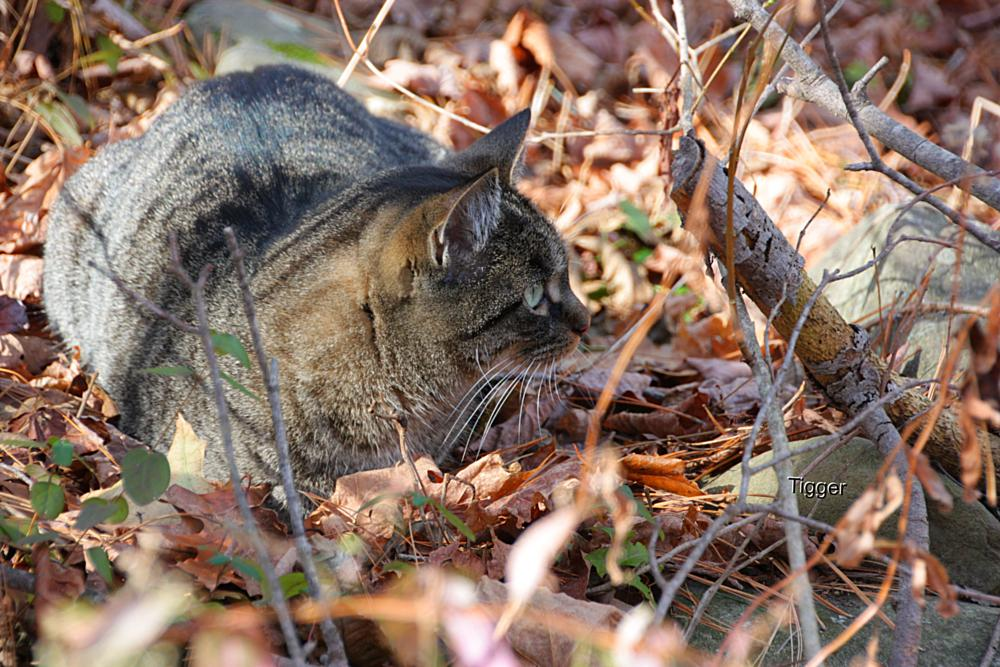 Photo in Animal #tigger #woods #fall #leaves #cat #animal #pretty #love