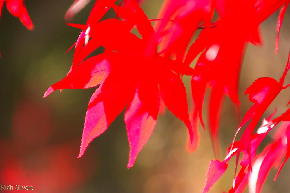 Photo in Nature #red #maple #leaves #bokeh #sun #light