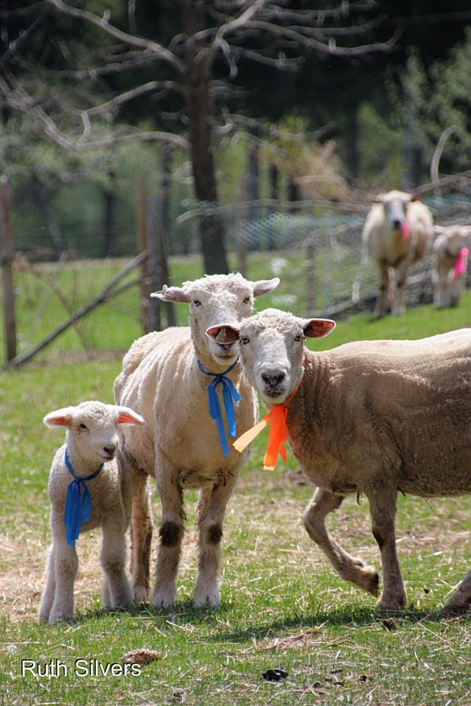 Photo in Animal #sheep #lambs #mommies #babies #spring