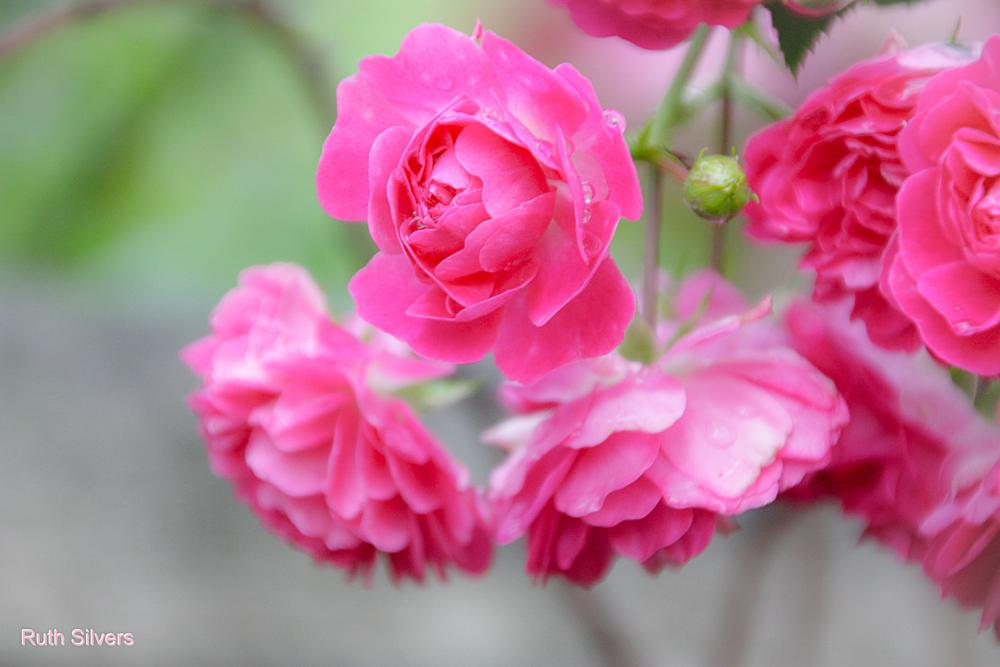 Photo in Nature #roses #flowers #rain #drops #nature #macro