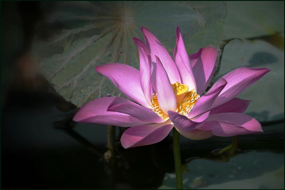 Photo in Nature #lotus #flower #nature #macro