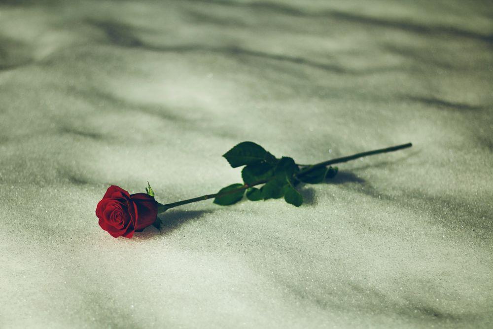 Photo in Nature #rose #winter #snow #valentine #valentine's day #love #red #pnw
