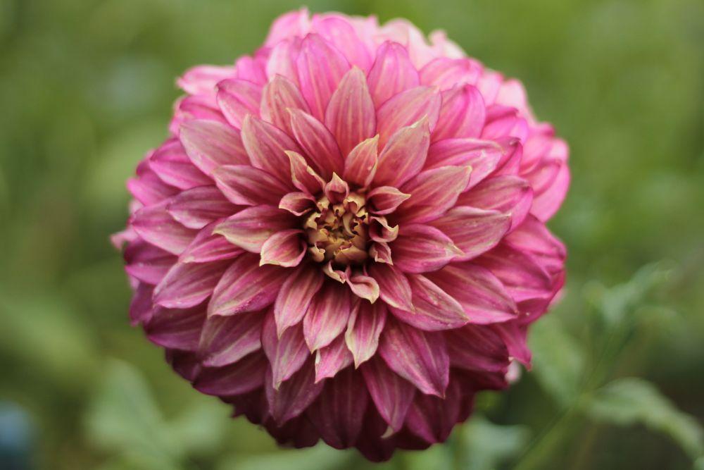 Photo in Nature #nature #macro #flower #dahlia