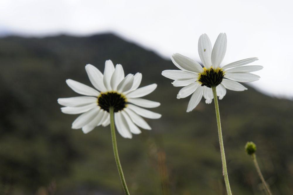 Mountain daisies