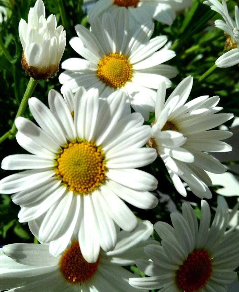 Spring daisies in sunlight