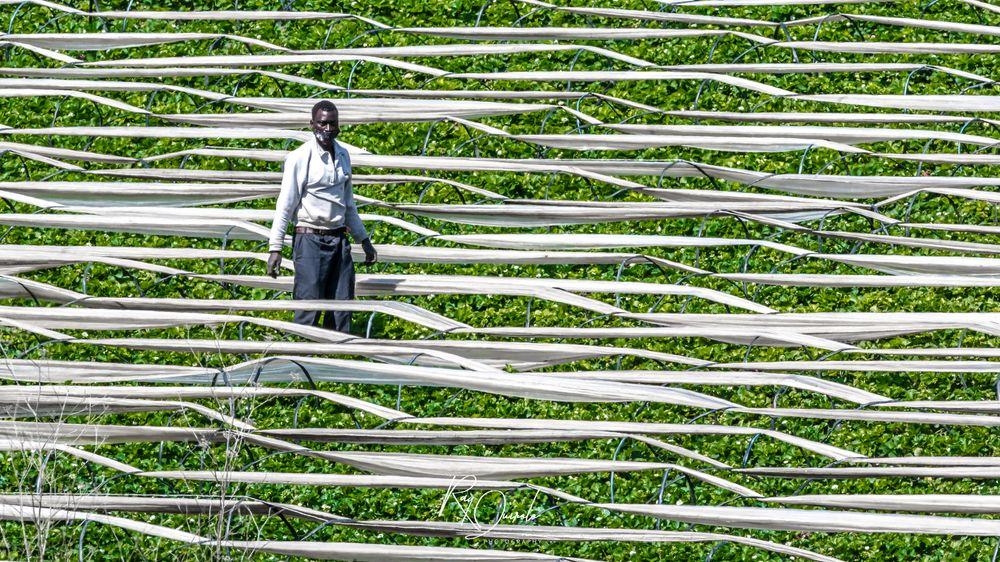 Photo in People #tomato fields #fields #tomatoes #green #men #farmer #mask #fruit