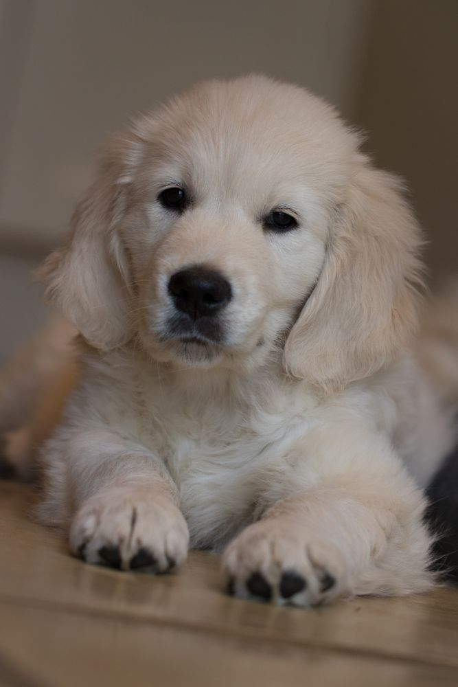 Photo in Animal #golden pup #edge productions #7dmk 2 #100mm