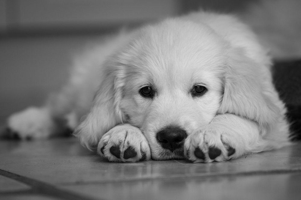 Photo in Animal #golden retriever puppy #puppy #7dmk 2 #canon #100m