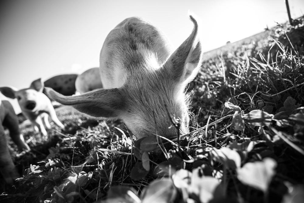 Photo in Animal #pig #piglets #6d #17mm