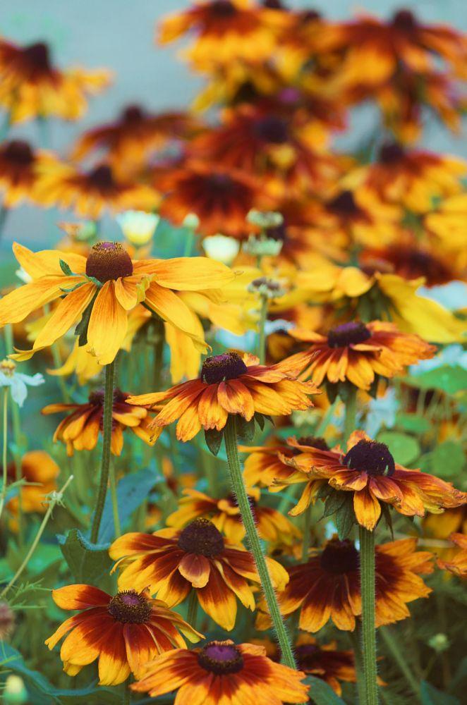 Photo in Nature #photography #original photography #flower #nature #pentax #traveling #beauty #135 mm #yellow #joyful #joy #natural beauty #color #colorful #tallinn #estonia #summer #summer memories #tb #trip #details #vintage