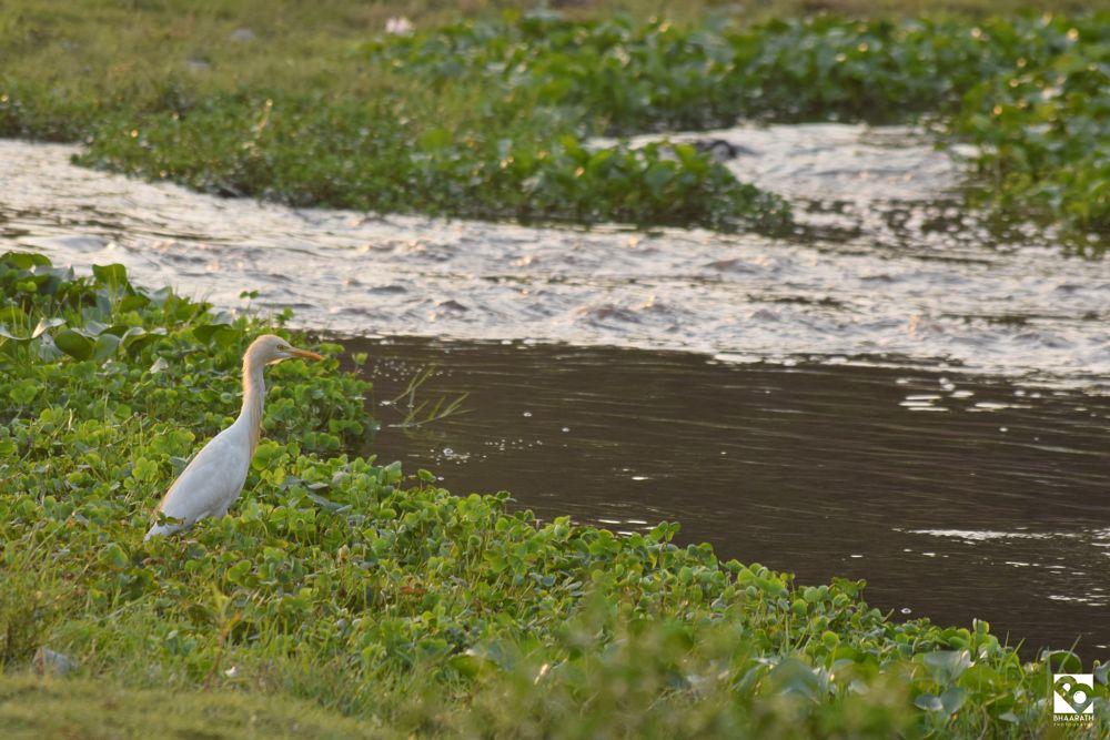 Photo in Random #bird #egret #travel #nikon #nature #water #lake #pond #birdphotography #naturephotography #travelphotography #bhaarathphotography