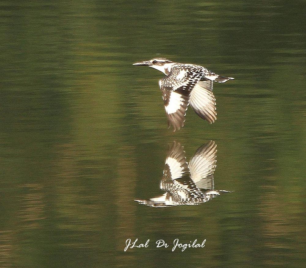 Photo in Random #pied kingfisher in flight  14.
