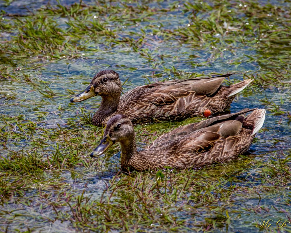Photo in Animal #duck #water birds #wildlife