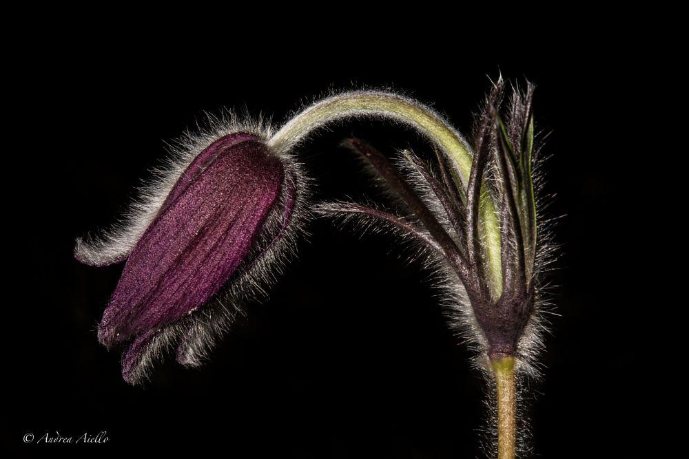 Photo in Macro #pulsatilla pratensis #flower #flash #grass #nature #macro #light #flora #carso #pulsatilla #spring
