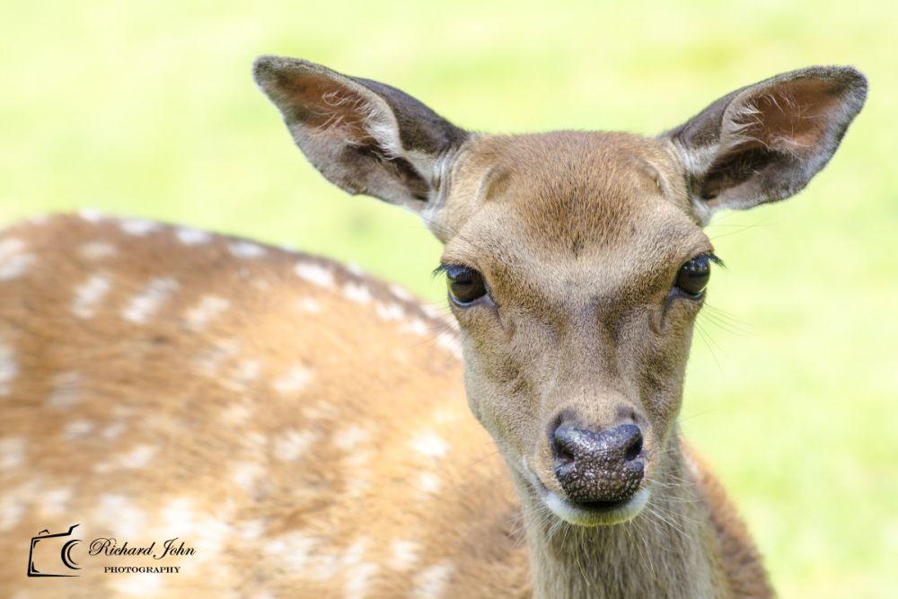 Photo in Animal #raindeer #deer #eyes