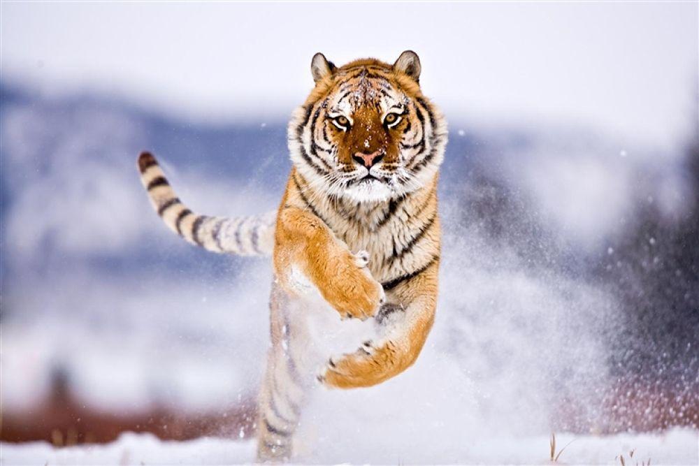 Photo in Random #tiger