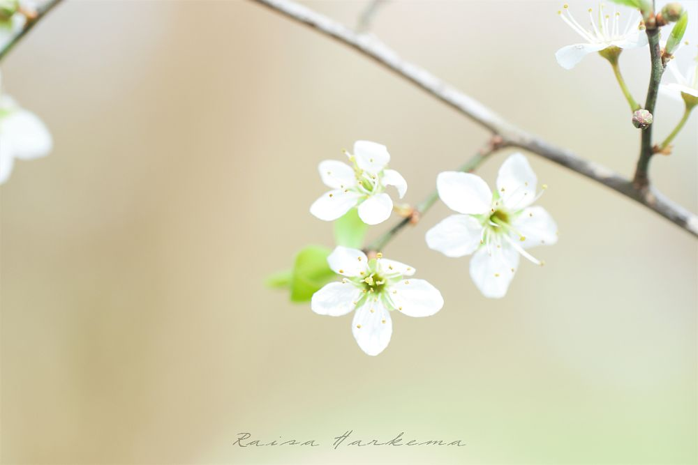 Photo in Macro #blossom #spring #flower #high-key #photography #delicate #petal #bloom #botanical #nature #macro #close-up