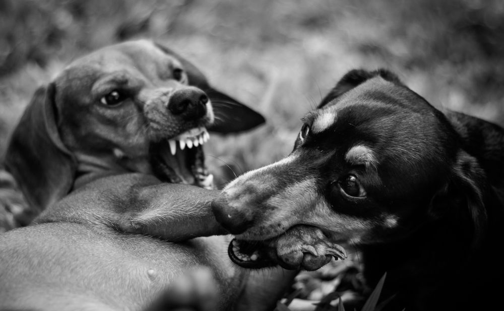 Photo in Random #dogs #black white #dashound