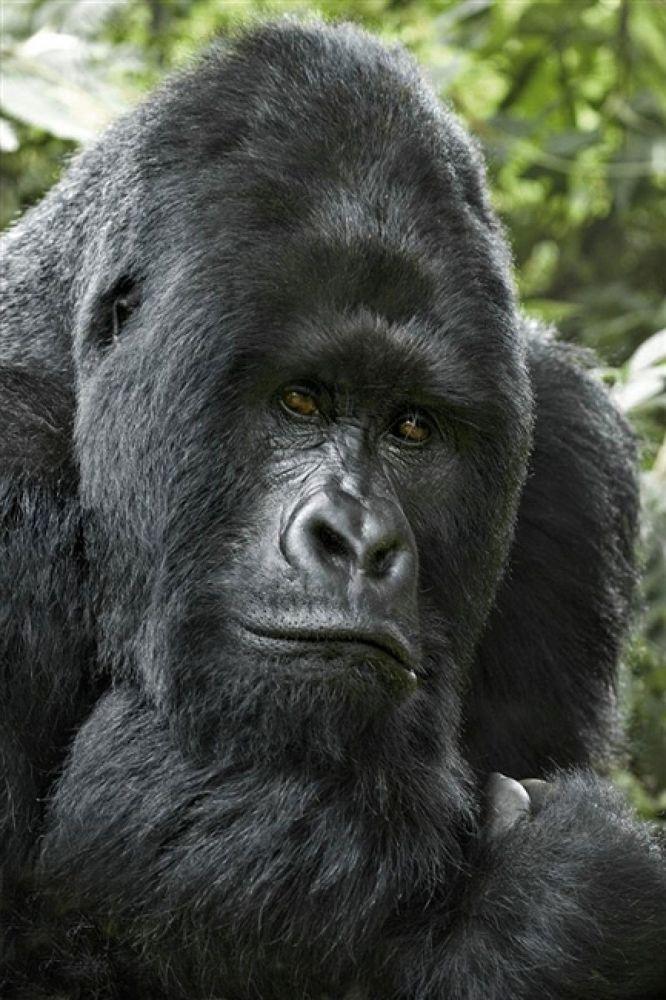 Photo in Random #gorilla