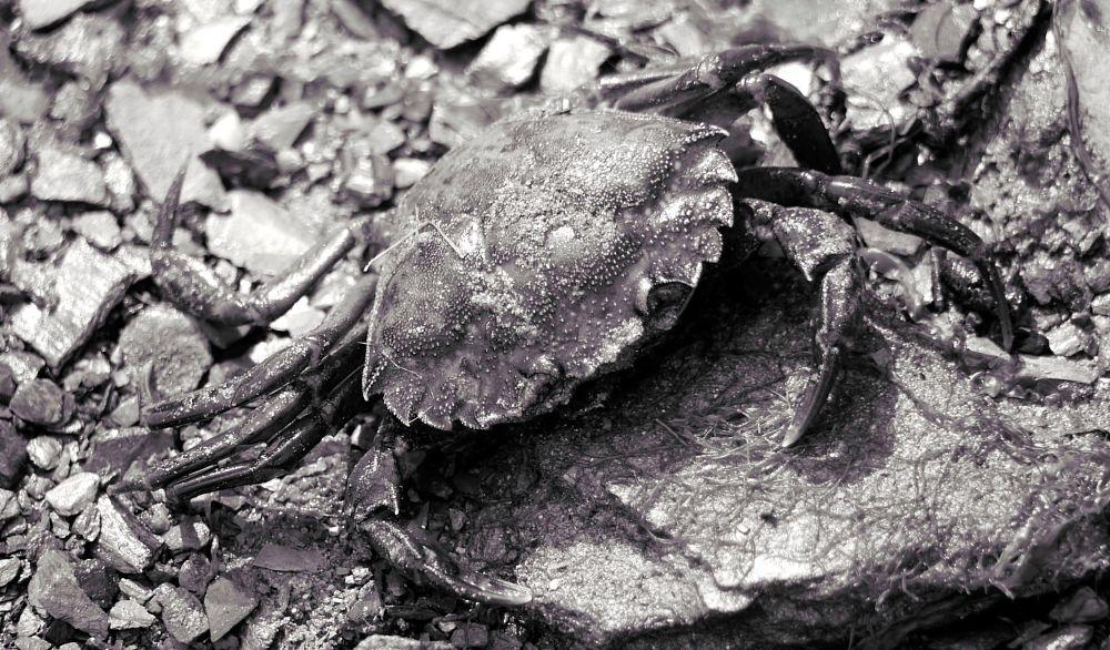 Photo in Animal #wildlife #wildlifephotography #crab #sealife #dead #beach
