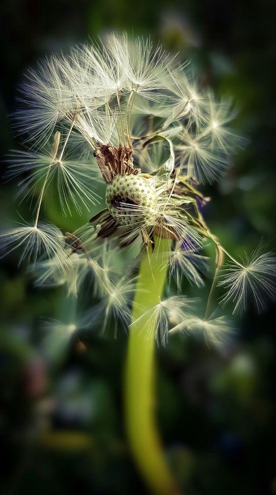 Photo in Nature #michaelk #random #nature #macro #flower #flowers #photography #photo #color #colors #garden #spring #dandelion
