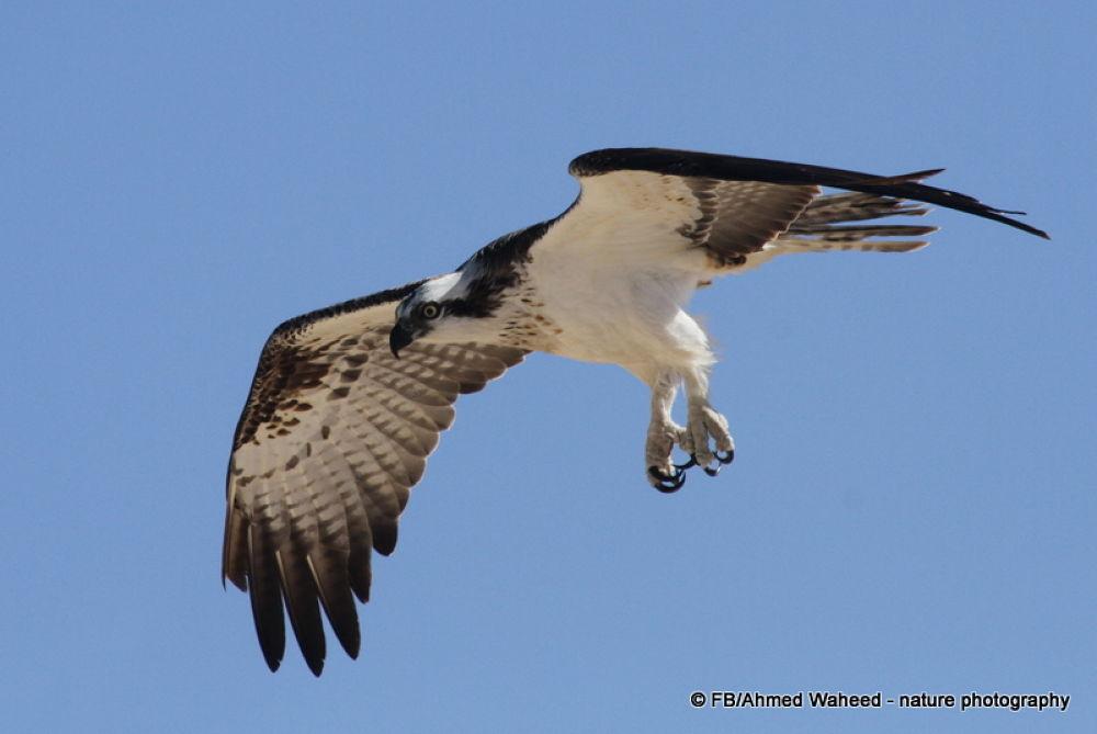 Photo in Animal #osprey #raptor #sky #bird #red sea #egypt #blue #eye #yellow