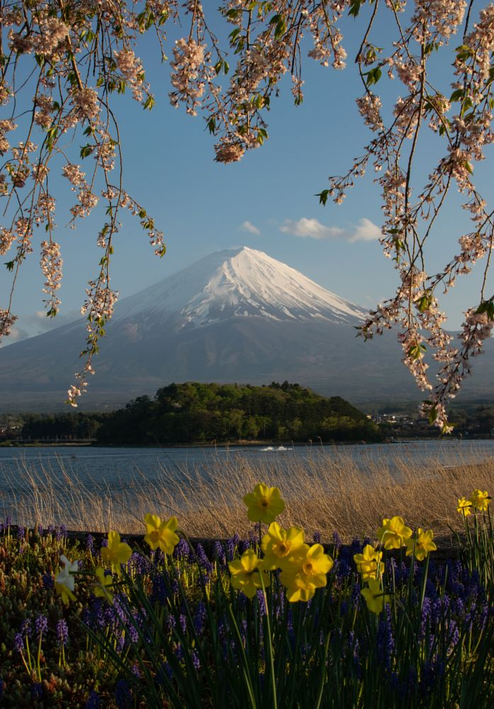 Photo in Nature #postcard #nature #mountains #flowers #blossom #bloom #colors #landscapes #fuji #japan #lake #travel #asia #yellow #snowcapped #water #green