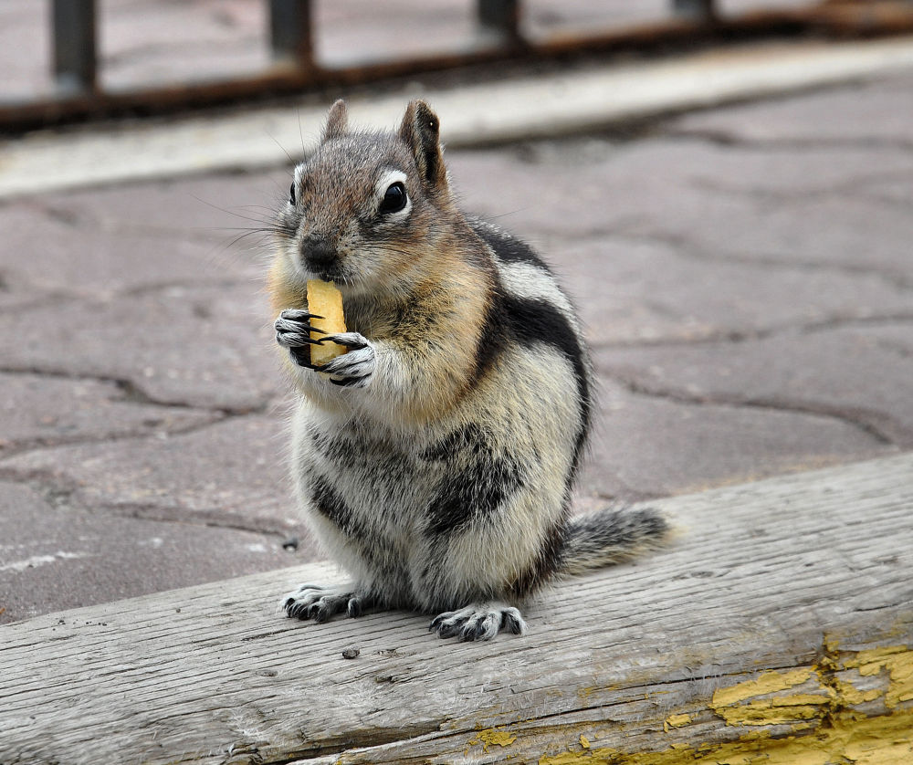 Photo in Animal #chipmunk #snack #eat #rodent #animal
