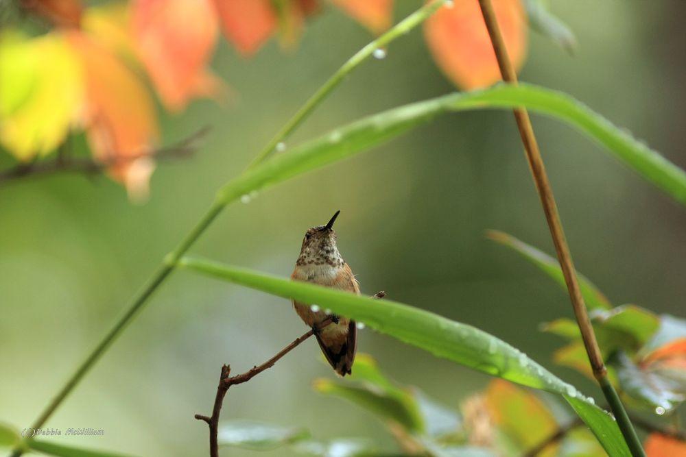 Photo in Animal #birds #bird #hummingbird #honeydipper #flight #feathers #wildlife #nature #inthewild #animalphotography #beautifulbirds #amazinganimals #amazingworldofbirds #wildlifephotography #conservation #naturalbeauty #birdsflyfree