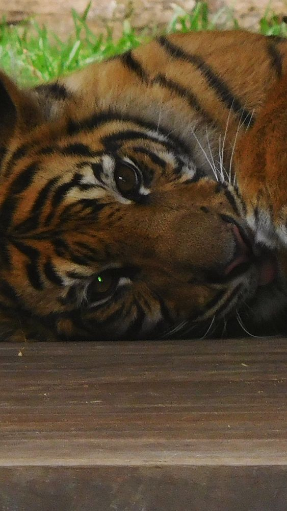 Photo in Random #bengal tiger #tiger #photography #eye of the tiger #animal photography #australia zoo