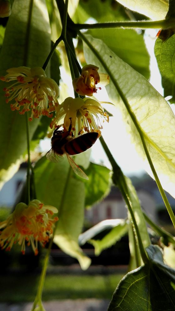 Photo in Nature #nature #flower #insect #bee