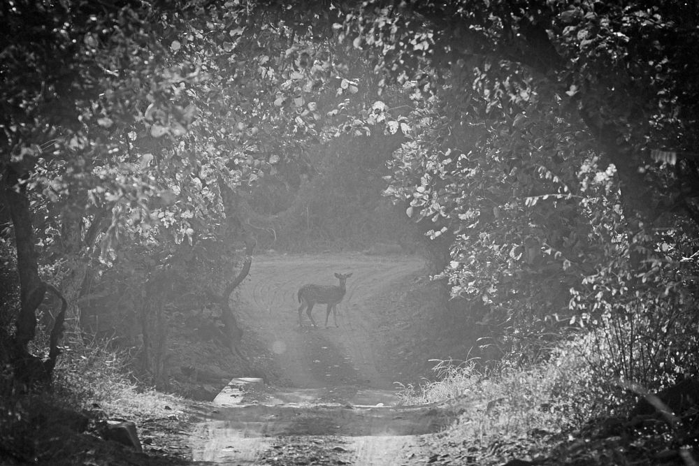 Photo in Animal #black and white #animals #wildlife #places #travel #spotted deer #chital