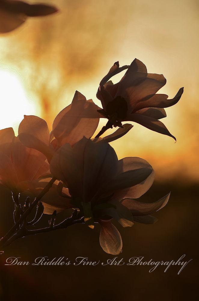 Photo in Nature #tulip #nature #dan riddle's fine art photogra