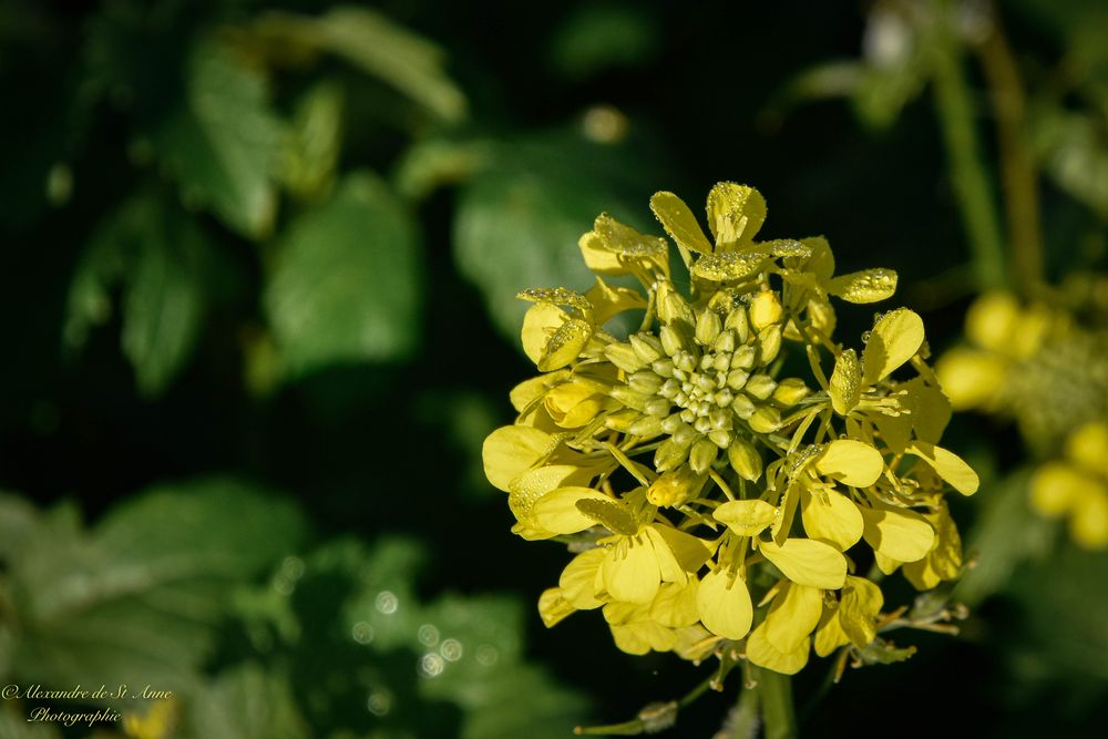 Photo in Random #flower #yellow #rapeseed #morning dew #nature