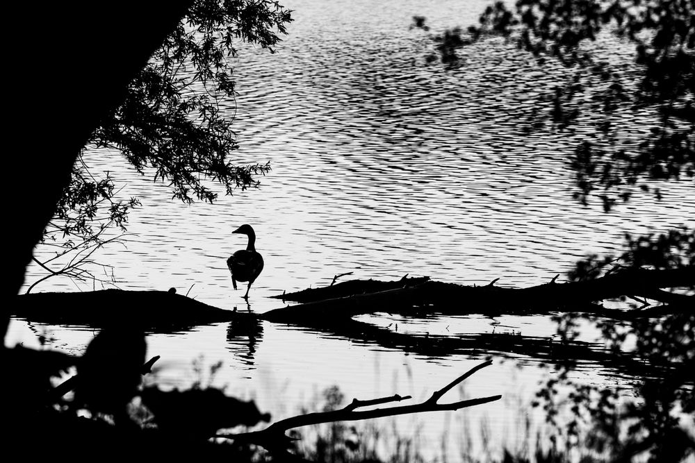 Photo in Black and White #lente #spring #vogel #bird #gans #goose #water #bomen #trees #zwart-wit #black & white #z/w #b/w #contrast #landscape #nature #june #2021 #netherlands